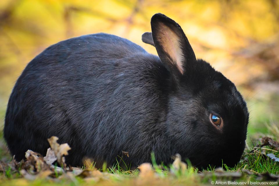 Черный заяц