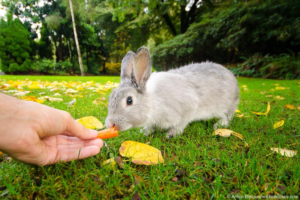 Feeding a bunny in Minoru Park (Richmond, BC)