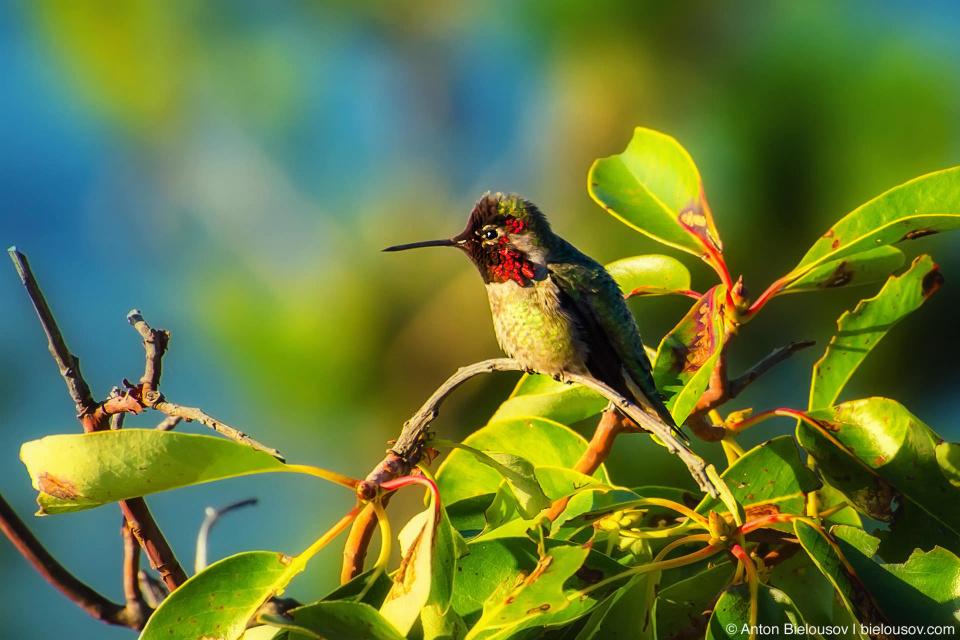 Колибри Калипта Анны (Anna's Hummingbird / Calypte Anna) — самое быстрое позвоночное животное в мире по отношению скорости к длинне тела: в брачный период самцы пикируют вниз с высоты 30м. на скорости свыше 90 км/ч при длинне тела всего 10см.