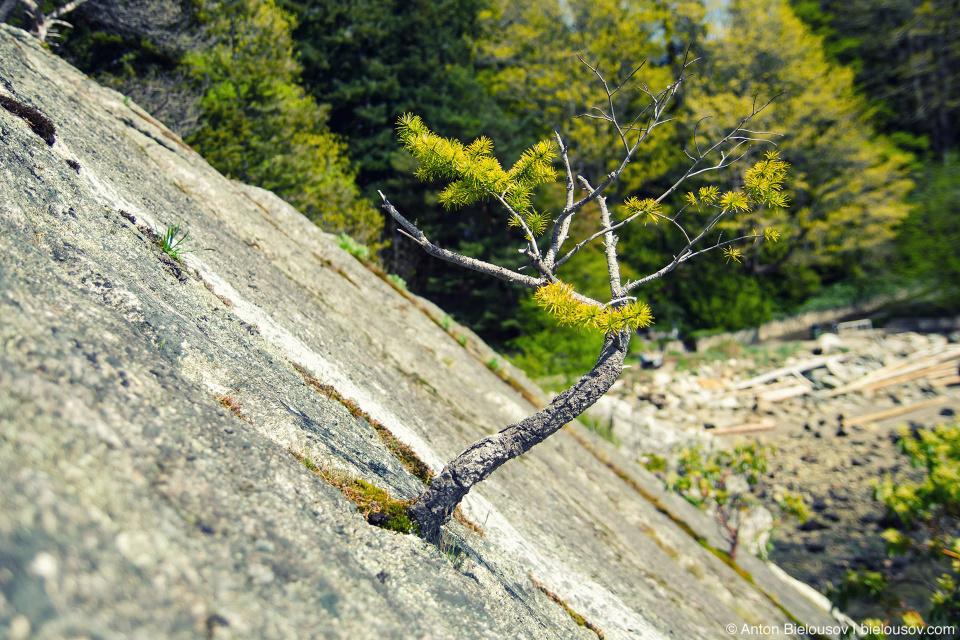 Сосны здесь настолько суровы, что растут прямо из камня (Whytecliff Park, West Vancouver)