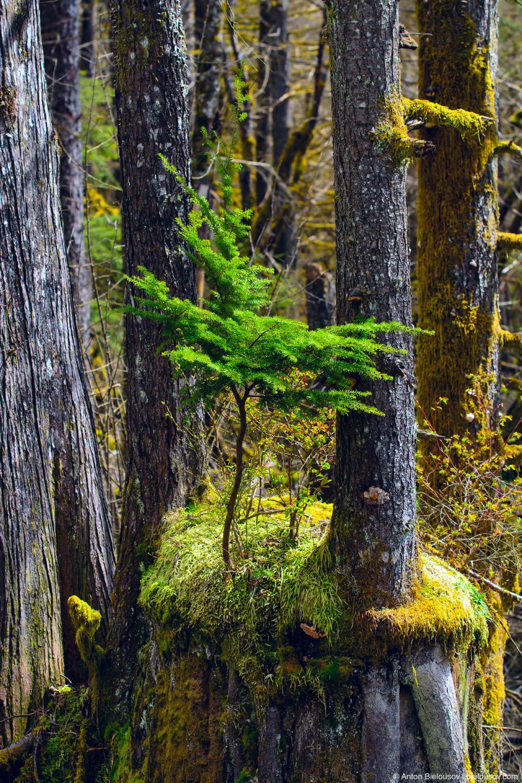 Природа сама крутит себе бонсай (Buntzen Lake, Vancouver, BC)