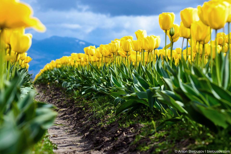 Желтые тюльпаны RoozenGaarde: Фестиваль тюльпанов (Skagit Valley, Mount Vernon, WA)